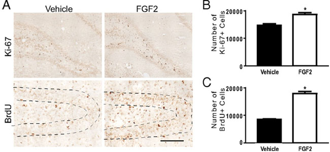 fgf laminine research
