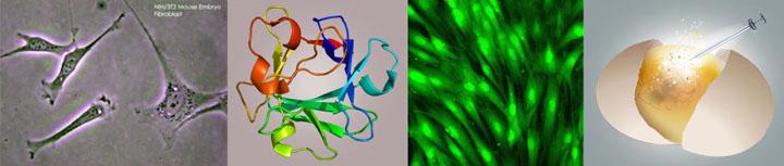 laminine fgf fibroblast growth factor