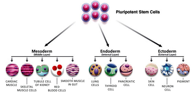 how stem cell works