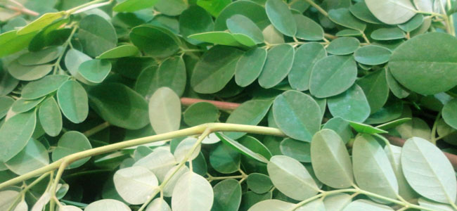 how to prepare malunggay leaves for medicine
