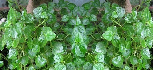 13 Philippines Herbs & Plants Recommended by DOH ...