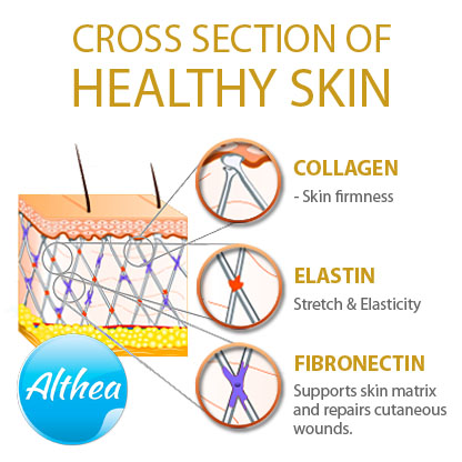collagen elastin and fibronectin