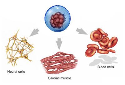 stem cell abilities of laminine
